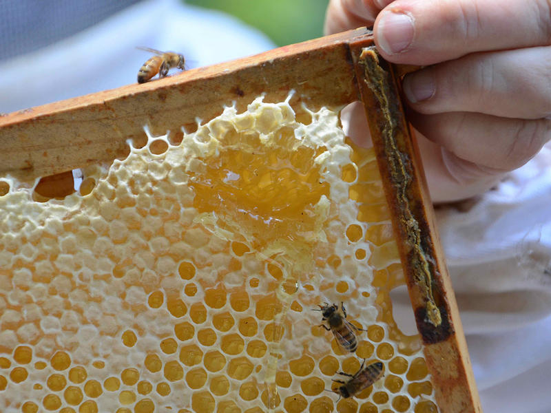Master beekeeper Linda Tillman checks a frame of honey to see if it's ready for harvest.