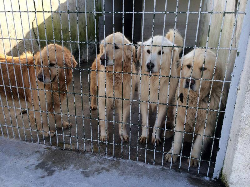 Thirty-six golden retrievers were rescued from Turkey and brought to the United States to be adopted.