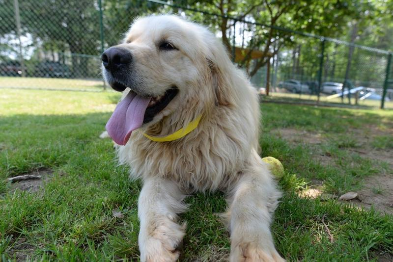 Each dog was abandoned by its owner when the golden retriever, once a status symbol for Turkey, stopped being popular.