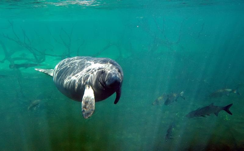 A Manatee swims at Blue Springs State Park in Orange City, Fla., in this Thursday, Jan. 5, 2006 file photo.