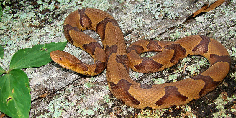 More than a third of snake bite calls at the Georgia Poison Control Center are copperhead bites.
