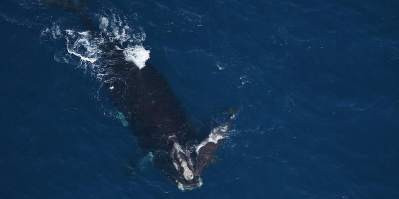 North Atlantic right whales have their babies off the Georgia coast.