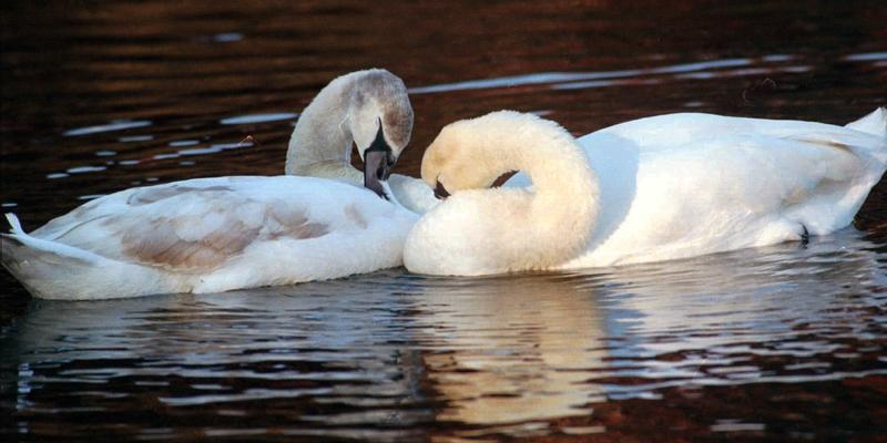 The price of swans a swimming and other gifts in the popular Christmas song has gone up, according to PNC Financial Services Group Inc.