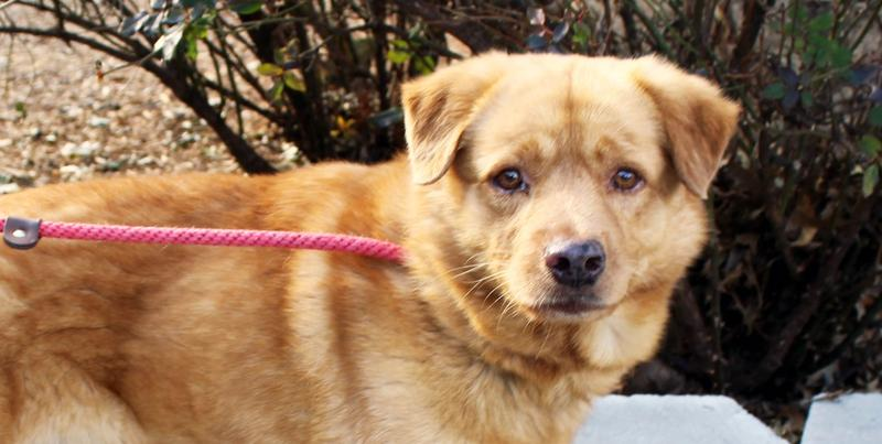 Sampson, a 5-year-old Chow mix, is a dog currently available for adoption at the Atlanta Humane Society's Howell Mill Shelter in Midtown. He has been awaiting adoption at the shelter since December 2015.