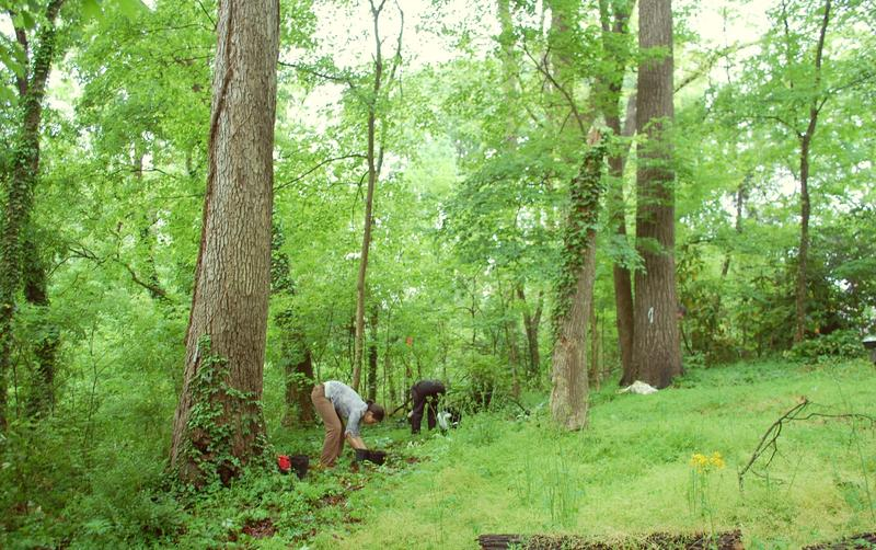 Volunteers search for native plants in a Brookwood Hills forest.