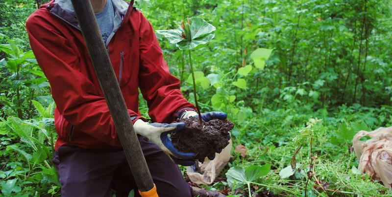 Eli Dickerson, ecologist for the Fernbank Museum, digs up a native plant at the future site of a sewer line installation.
