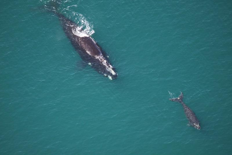 North Atlantic right whales were driven almost to extinction by the whaling industry. The most recent numbers suggest there are now about 475 of them.