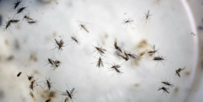 In this Feb. 11, 2016 file photo of aedes aegypti mosquitoes are seen in a mosquito cage at a laboratory in Cucuta, Colombia.