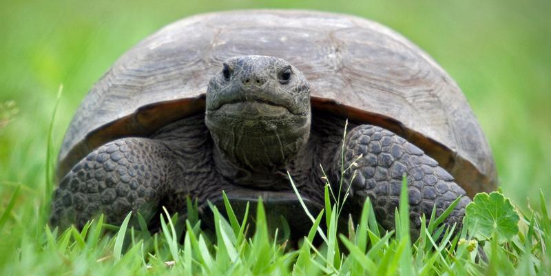 Plants and animals, like the gopher tortoise, will need to move in order to keep living in the conditions they evolved to live in as the climate changes.
