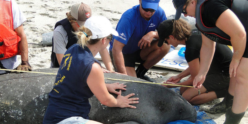 Biologists and staff work with a manatee caught in 2015.