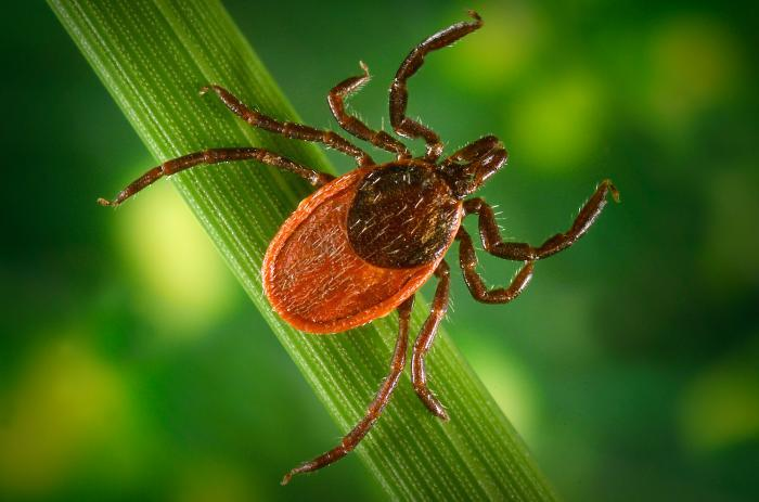 Blacklegged ticks (depicted here) are known vectors for the pathogen responsible for causing Lyme disease.