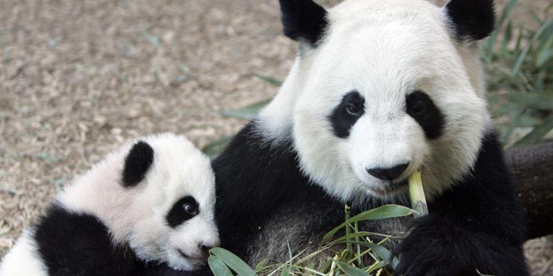 Giant panda Lun Lun, shown in 2006 at Zoo Atlanta with her cub Mei Lan, is pregnant, zoo officials say. They say she is expecting her second set of twins.