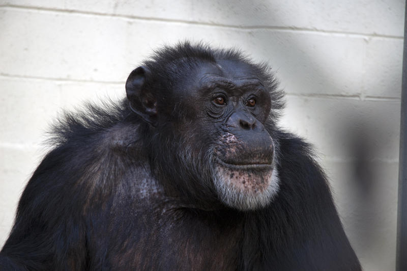 Sherman is one of three chimpanzees living at Georgia State University's Language Research Center.