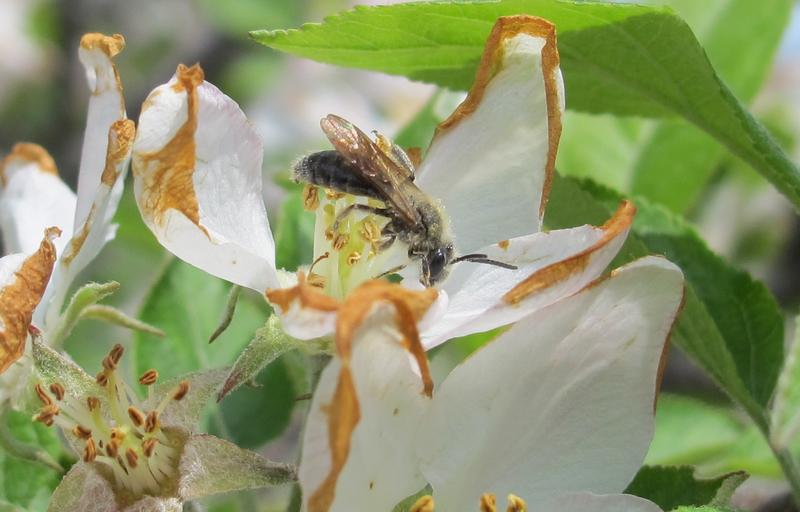 A mining bee lands on an apple flower at Mountain View Orchard in McCaysville, Georgia.