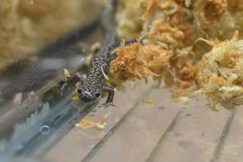 A frosted flatwoods salamander gets settled into its new tank at the Amphibian Foundation.
