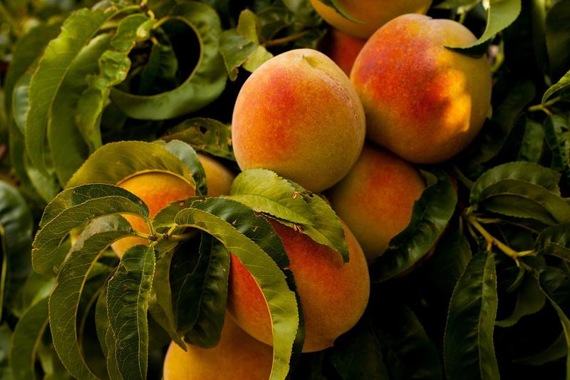 "Georgia's peach crop might suffer due to a lack of ""chill hours."""