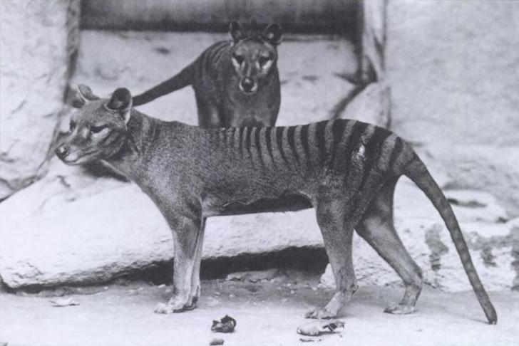 Two Tasmanian tigers, also known as thylacines, seen in the National Zoo in 1906. Berns recently was able to compare the brains of Tasmanian devils to these extinct mammals.