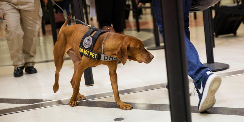 A TSA explosives detection dog sniffs passengers as they go through a security checkpoint at Hartsfield-Jackson Atlanta International Airport.