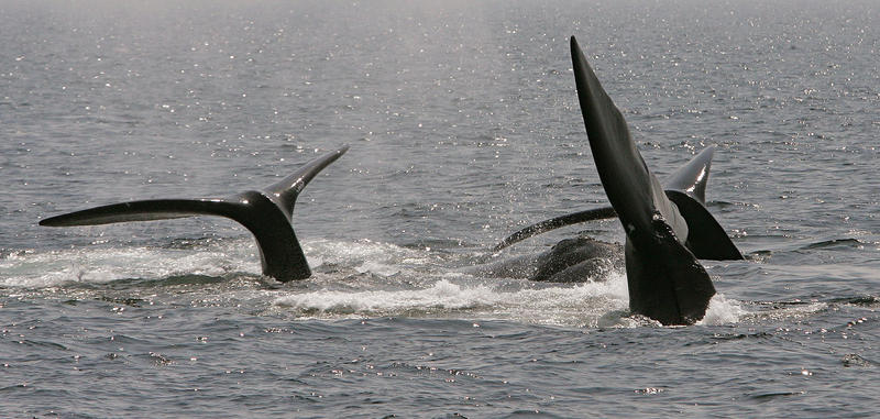 Seismic testing involves shooting blasts of air underwater, which can affect ocean animals, including whales.