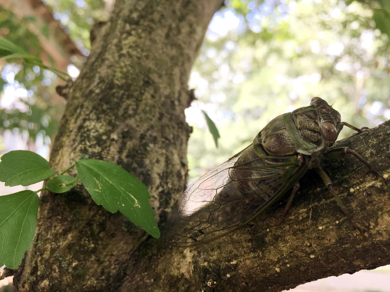 During a solar eclipse cicadas may quiet down.