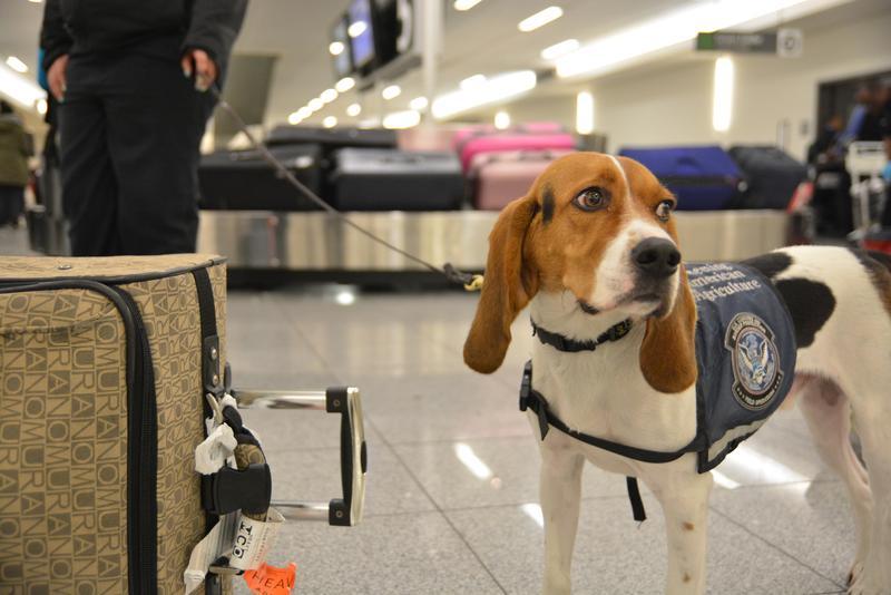 Hardy, a member of the Beagle Brigade, works in Hartsfield-Jackson Atlanta International Airport's International Terminal.