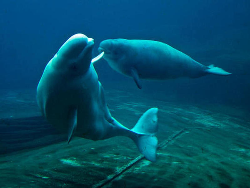One of two belugas whale calves born this week at Sea World in San Antonio, swims with its mother, Friday, Aug. 1, 2008. The calves, not yet named, were born Sunday to 9-year-old mother Whisper and Thursday to 22-year-old mother Sikku.