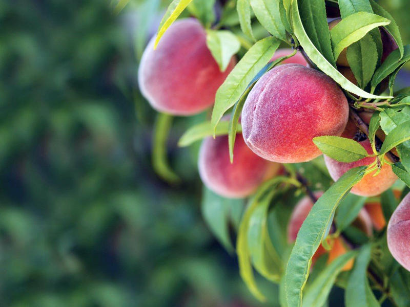 A look at some Georgia peaches. Will McGehee with Genuine Georgia Group, whose family has been in peaches for 5 generations, joins A Closer Look on Friday, September 25, 2015 to give an update on the peach industry in Georgia.