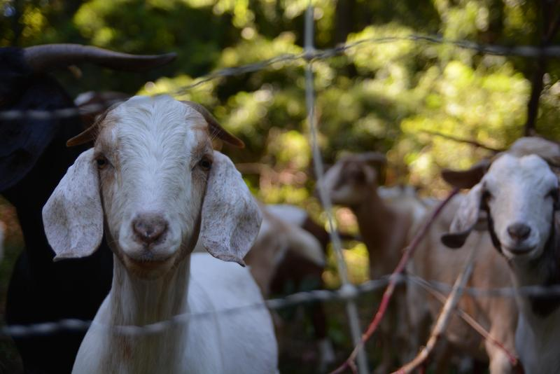 The goats are behind an electric fence to prevent them from wandering off.