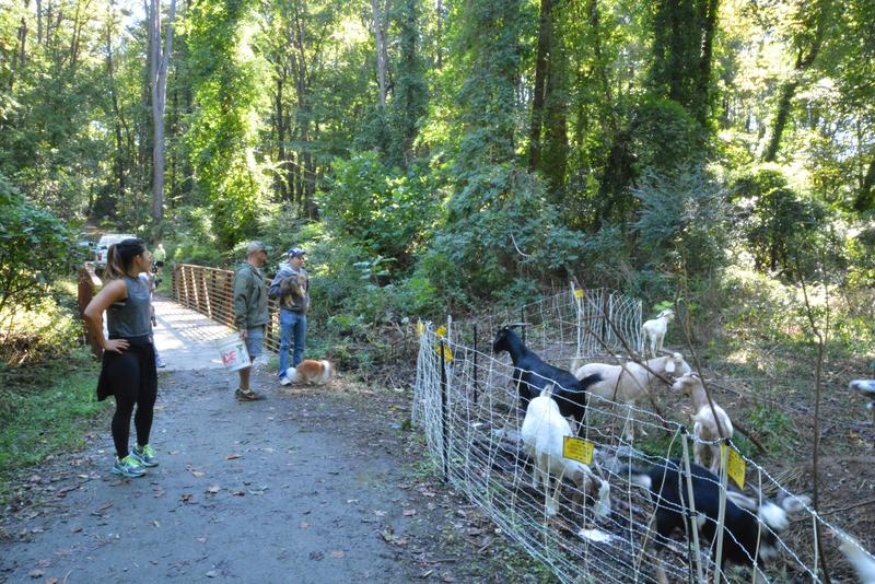 Hikers and runners often stop and ask Michael Swanson questions about his goats, as they work.