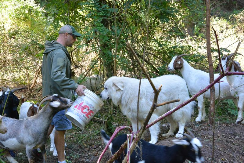 Michael Swanson feeds the dogs. Swanson stops by his sites twice a day to feed the dogs and check the condition of the goats.