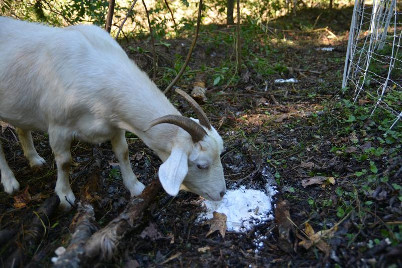 Baking soda helps calm the goats' stomachs.