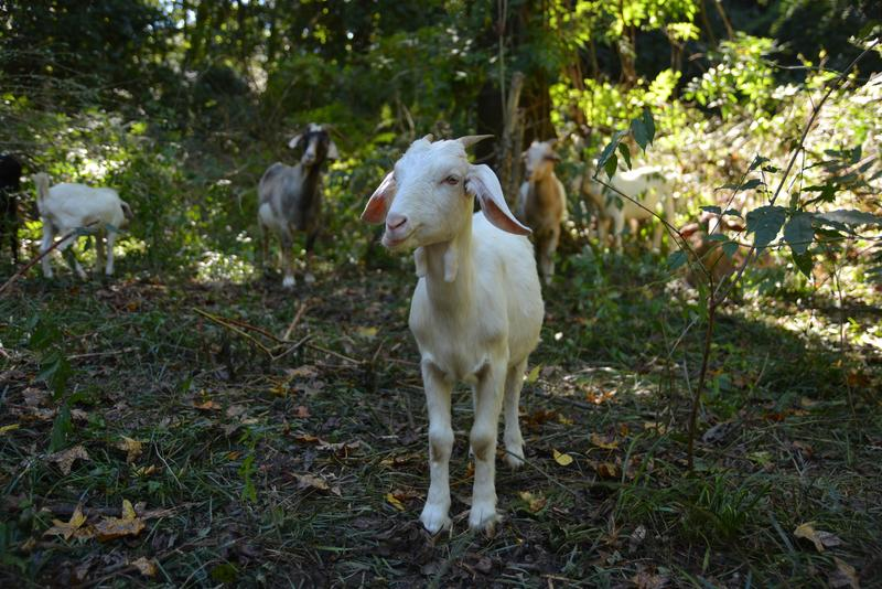 One of several goats that were working in Kittredge Park in DeKalb County.
