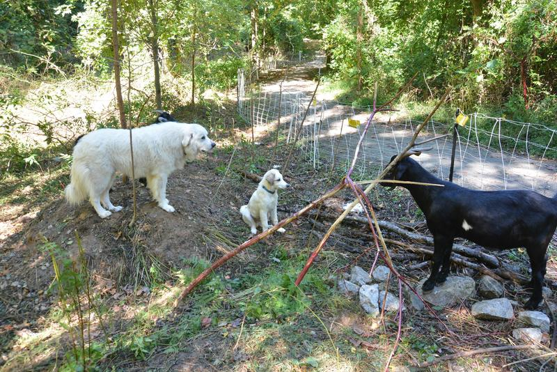 A large Pyrenees and a puppy keep watch over the goats. The older dog, George, is training the puppy to watch over the goats.