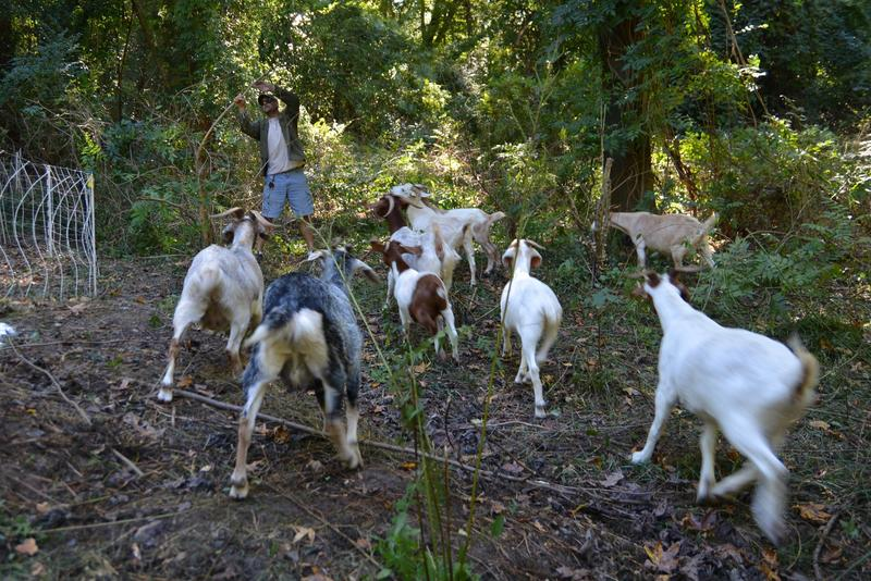 Goats eat greens including ivy, poison Ivy and privet.