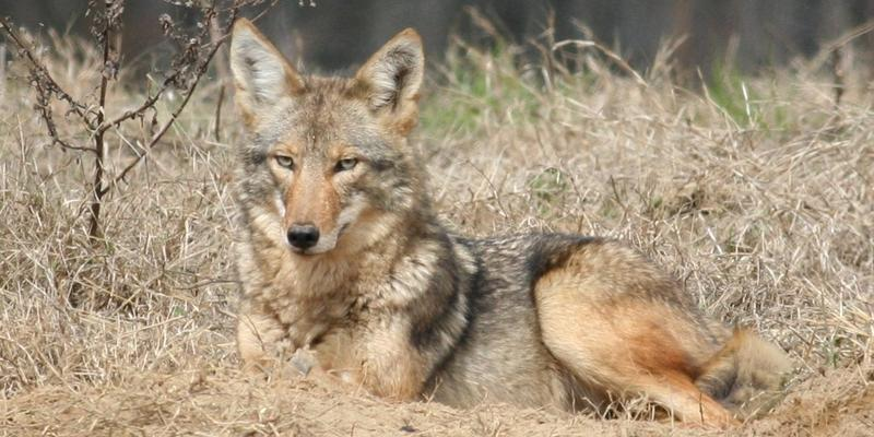 Coyote hunters in Georgia are being offered a chance to win a lifetime hunting license in a new statewide contest.