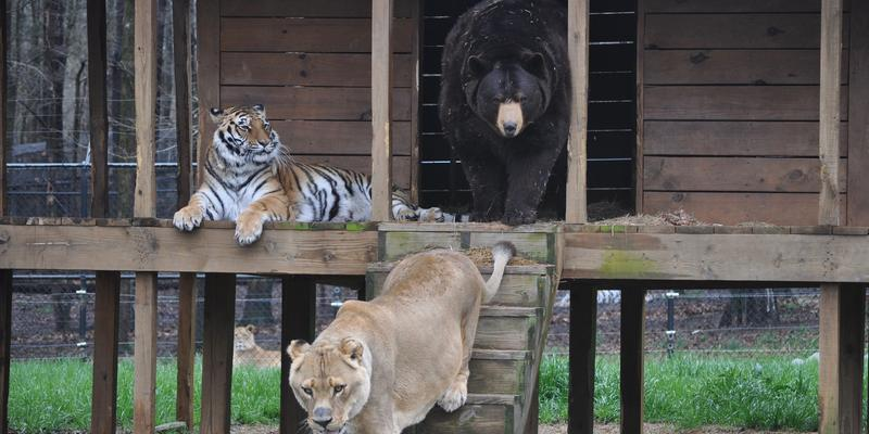 "Noah's Ark is home to the ""B.L.T"" a bear, lion and tiger trio who were rescued from an Atlantan home."