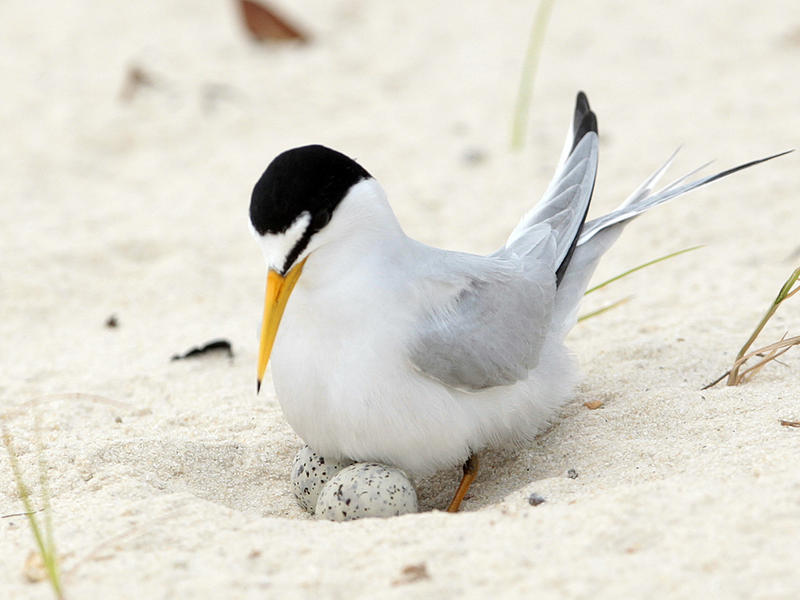 A least tern checks her two eggs on the beach in Gulfport, Miss., Saturday, May 1, 2010.