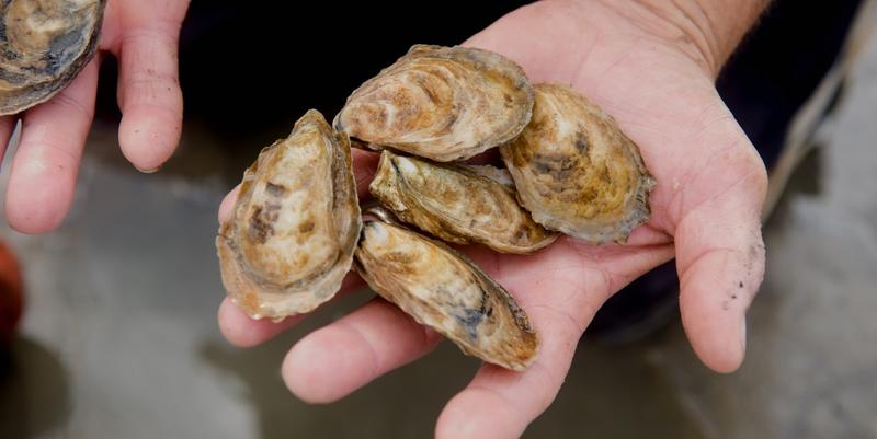 Oysters from UGA's new hatchery grow separately, rather than in clumps, as wild Georgia oysters do.