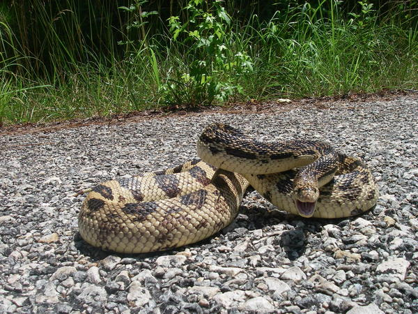 Scientists Search For Georgia's Elusive Pine Snake   90 1 FM
