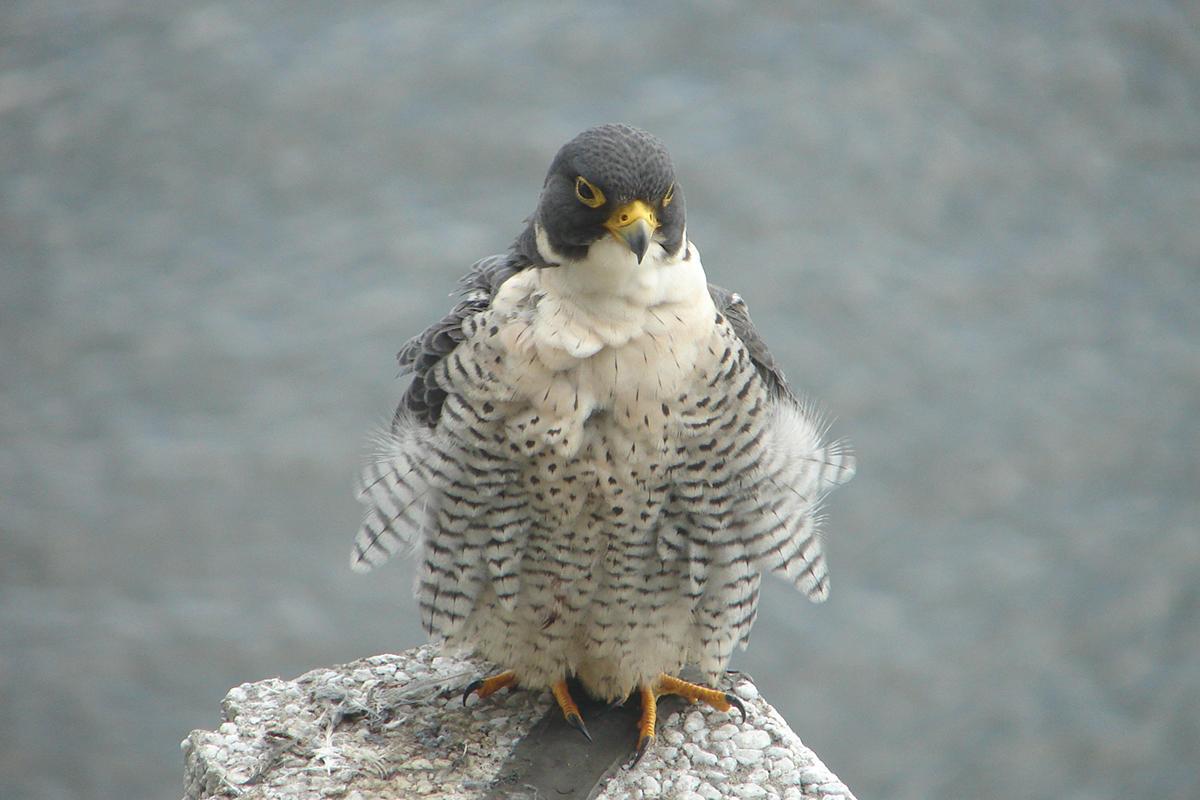 rare peregrine falcon nest found at ga 39 s tallulah gorge. Black Bedroom Furniture Sets. Home Design Ideas