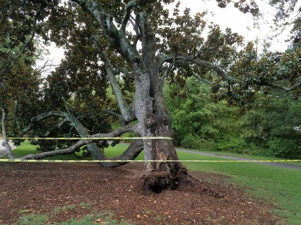 Commentary The Great Loss Of Piedmont Parks Magnolia Tree Wabe