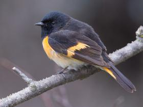 The American Redstart breeds across much of North America, and uses the Eastern flyway identified in the study.