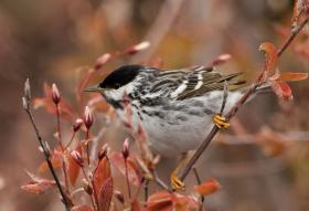 Blackpoll Warblers were one of the first species found to fly a different migration route in fall than in spring. The new research shows that many more songbird species migrate in similar elliptical, clockwise routes.