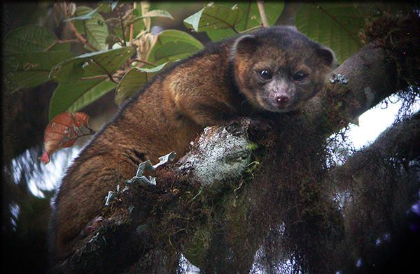 Olinguito, cousin to the racoon found in Ecuador, on the top 10 list