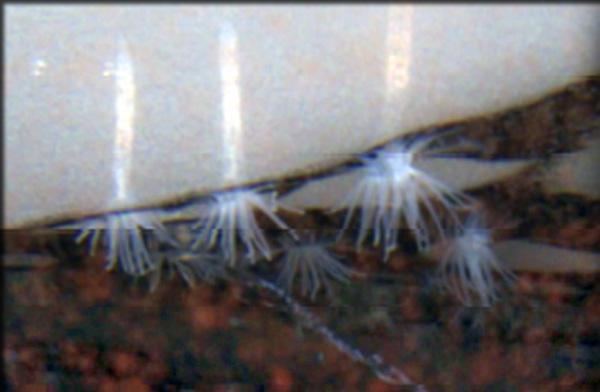 ANDRILL Anemone is found under the Ross Ice Shelf in Antarctica