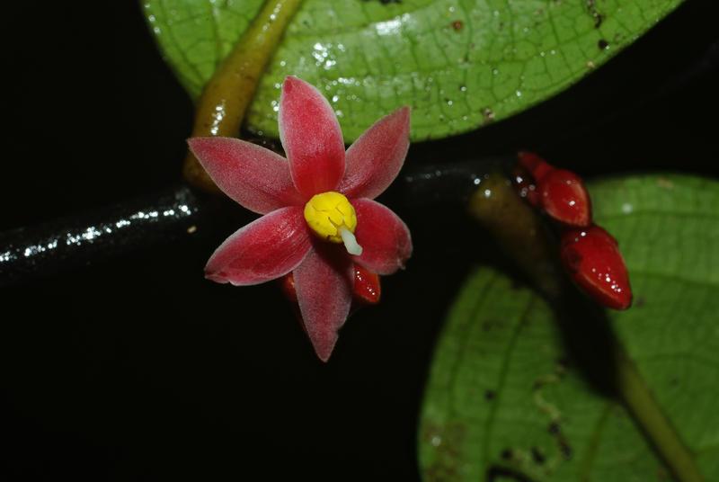 Flowering Tree from Gabon: