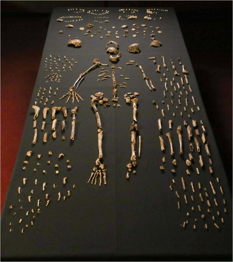 """Man's ancestor?  Homo naledi skeletal specimens. The """"skeleton"""" layout in the center of the photo is a composite of elements that represent multiple individuals."""
