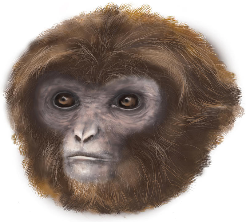 """Small Ape Nicknamed """"Laia"""" found in Spain: Pliobates catalonia: Artist's recreation of the life appearance"""