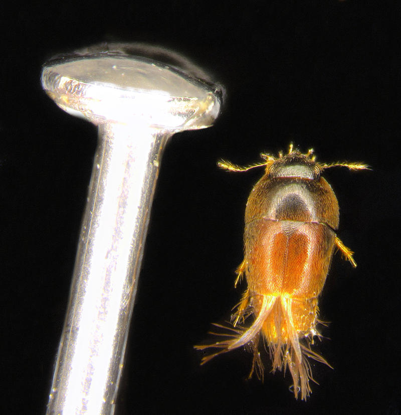 Featherwing Beetle:  Phytotelmatrichis osopaddington: beetle and pin