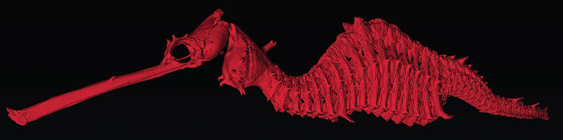 Not your normal Sea Horse:  Phyllopteryx dewysea: Skeleton of the ruby seadragon visualized using microcomputed tomography